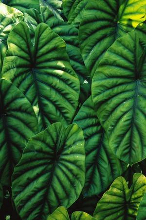 Green Tropical Leaves-Darrell Gulin-Stretched Canvas Print