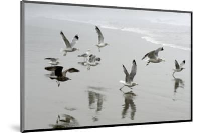 Canada, B.C, Vancouver Island. Gulls Flying on Florencia Beach-Kevin Oke-Mounted Art Print