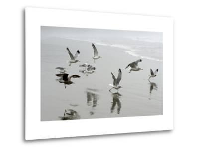 Canada, B.C, Vancouver Island. Gulls Flying on Florencia Beach-Kevin Oke-Metal Print