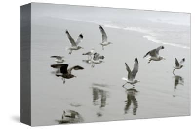 Canada, B.C, Vancouver Island. Gulls Flying on Florencia Beach-Kevin Oke-Stretched Canvas Print