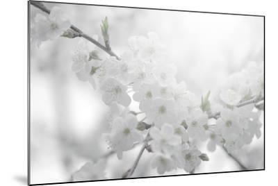 Cherry Tree-Philippe Sainte-Laudy-Mounted Photographic Print