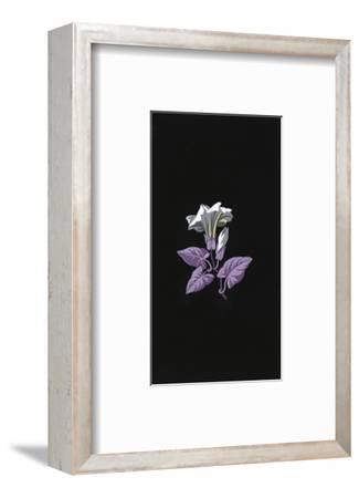 Single White Morning Glory Flower with Purple Leaves on Black--Framed Art Print