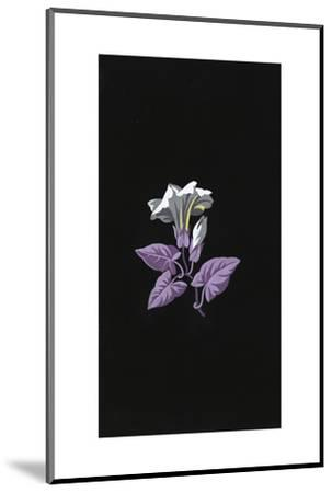 Single White Morning Glory Flower with Purple Leaves on Black--Mounted Art Print