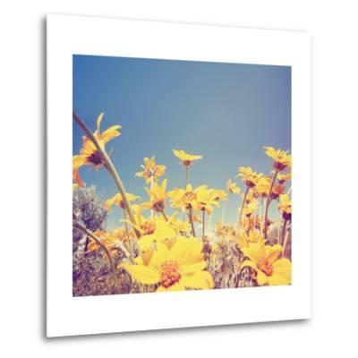 A Bunch of Pretty Balsamroot Flowers Done with a Soft Vintage Instagram like Effect Filter-graphicphoto-Metal Print