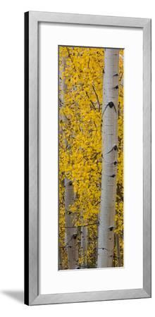 Quaking Aspen (Populus Tremuloides) Tree, Boulder Mountain, Dixie National Forest, Utah, USA--Framed Photographic Print