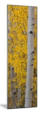 Quaking Aspen (Populus Tremuloides) Tree, Boulder Mountain, Dixie National Forest, Utah, USA--Mounted Photographic Print
