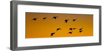 Silhouette of Sandhill Cranes (Grus Canadensis) Flying in the Sky at Sunrise--Framed Photographic Print