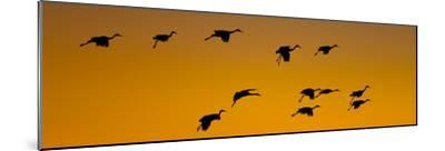 Silhouette of Sandhill Cranes (Grus Canadensis) Flying in the Sky at Sunrise--Mounted Photographic Print