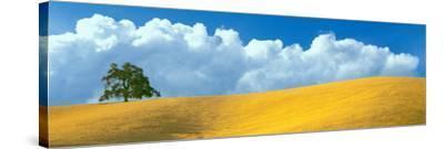 Lone Oak Tree over Grass at Hillside, Paso Robles, San Luis Obispo County, California, USA--Stretched Canvas Print