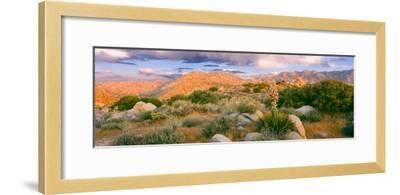 Yucca (Spanish Bayonet) Plants Blooming in a Desert, Culp Valley Primitive Campground--Framed Photographic Print