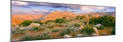 Yucca (Spanish Bayonet) Plants Blooming in a Desert, Culp Valley Primitive Campground--Mounted Photographic Print