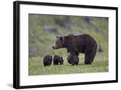 Grizzly Bear (Ursus Arctos Horribilis) Sow and Three Cubs of the Year, Yellowstone National Park-James Hager-Framed Photographic Print