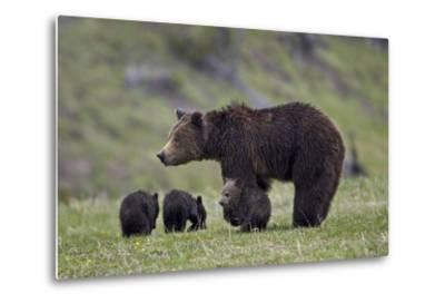 Grizzly Bear (Ursus Arctos Horribilis) Sow and Three Cubs of the Year, Yellowstone National Park-James Hager-Metal Print
