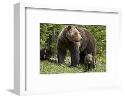 Grizzly Bear (Ursus Arctos Horribilis) Sow and Two Cubs of the Year, Yellowstone National Park-James Hager-Framed Photographic Print