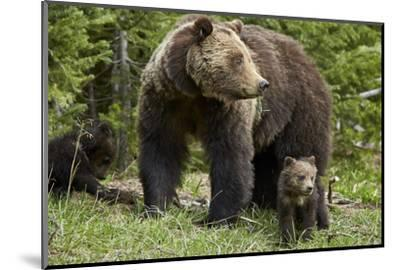 Grizzly Bear (Ursus Arctos Horribilis) Sow and Two Cubs of the Year, Yellowstone National Park-James Hager-Mounted Photographic Print