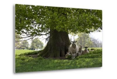 Ewes and Lambs under Shade of Oak Tree, Chipping Campden, Cotswolds, Gloucestershire, England-Stuart Black-Metal Print