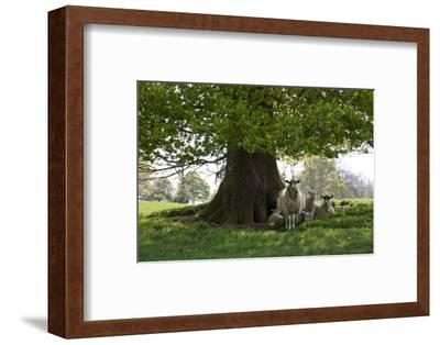 Ewes and Lambs under Shade of Oak Tree, Chipping Campden, Cotswolds, Gloucestershire, England-Stuart Black-Framed Photographic Print
