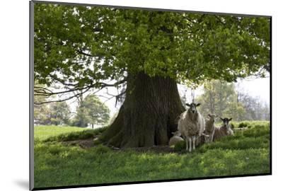 Ewes and Lambs under Shade of Oak Tree, Chipping Campden, Cotswolds, Gloucestershire, England-Stuart Black-Mounted Photographic Print