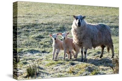 Ewes and Lambs at Springtime on the Mynydd Epynt Range, Powys, Wales, United Kingdom, Europe-Graham Lawrence-Stretched Canvas Print