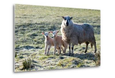 Ewes and Lambs at Springtime on the Mynydd Epynt Range, Powys, Wales, United Kingdom, Europe-Graham Lawrence-Metal Print