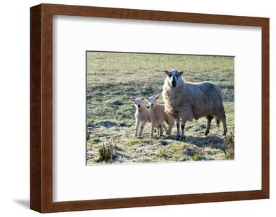 Ewes and Lambs at Springtime on the Mynydd Epynt Range, Powys, Wales, United Kingdom, Europe-Graham Lawrence-Framed Photographic Print