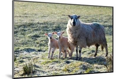Ewes and Lambs at Springtime on the Mynydd Epynt Range, Powys, Wales, United Kingdom, Europe-Graham Lawrence-Mounted Photographic Print