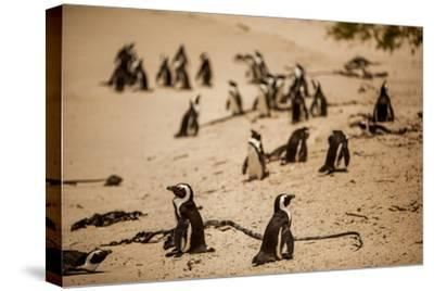Cape African Penguins, Boulders Beach, Cape Town, South Africa, Africa-Laura Grier-Stretched Canvas Print