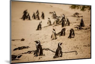 Cape African Penguins, Boulders Beach, Cape Town, South Africa, Africa-Laura Grier-Mounted Photographic Print