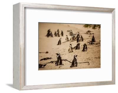 Cape African Penguins, Boulders Beach, Cape Town, South Africa, Africa-Laura Grier-Framed Photographic Print