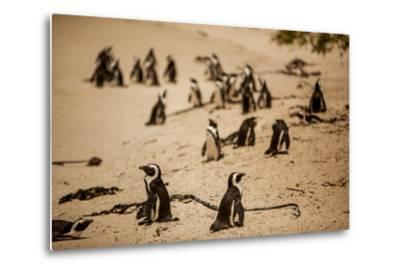 Cape African Penguins, Boulders Beach, Cape Town, South Africa, Africa-Laura Grier-Metal Print