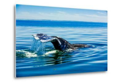 Grey Whales, Whale Watching, Magdalena Bay, Mexico, North America-Laura Grier-Metal Print