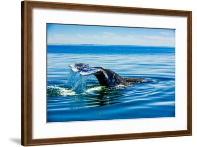 Grey Whales, Whale Watching, Magdalena Bay, Mexico, North America-Laura Grier-Framed Photographic Print