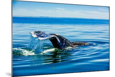 Grey Whales, Whale Watching, Magdalena Bay, Mexico, North America-Laura Grier-Mounted Photographic Print