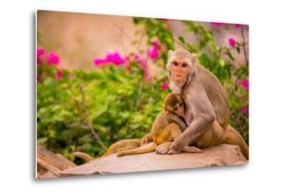 Wild Monkeys, Jaipur, Rajasthan, India, Asia-Laura Grier-Metal Print