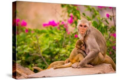 Wild Monkeys, Jaipur, Rajasthan, India, Asia-Laura Grier-Stretched Canvas Print