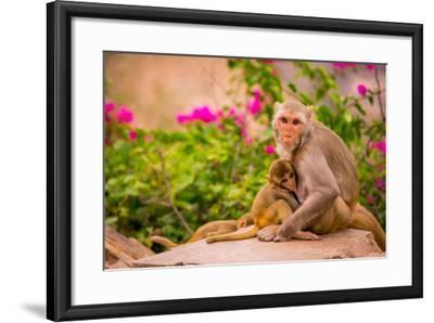 Wild Monkeys, Jaipur, Rajasthan, India, Asia-Laura Grier-Framed Photographic Print