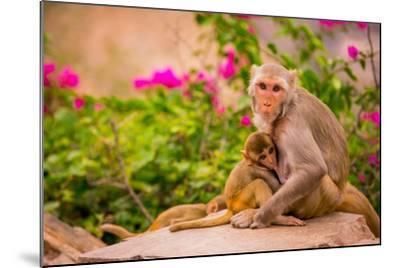 Wild Monkeys, Jaipur, Rajasthan, India, Asia-Laura Grier-Mounted Photographic Print