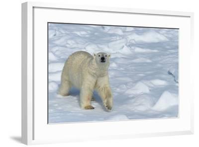 Male Polar Bear (Ursus Maritimus) Walking over Pack Ice, Spitsbergen Island, Svalbard Archipelago-G&M Therin-Weise-Framed Photographic Print