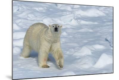 Male Polar Bear (Ursus Maritimus) Walking over Pack Ice, Spitsbergen Island, Svalbard Archipelago-G&M Therin-Weise-Mounted Photographic Print