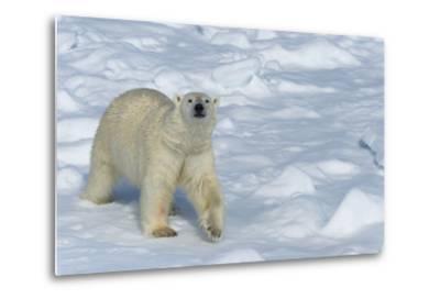 Male Polar Bear (Ursus Maritimus) Walking over Pack Ice, Spitsbergen Island, Svalbard Archipelago-G&M Therin-Weise-Metal Print