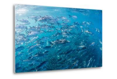 A Large School of Bigeye Trevally (Caranx Sexfasciatus) in Deep Water Near Cabo Pulmo-Michael Nolan-Metal Print