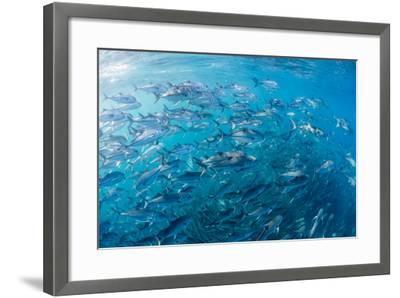 A Large School of Bigeye Trevally (Caranx Sexfasciatus) in Deep Water Near Cabo Pulmo-Michael Nolan-Framed Photographic Print