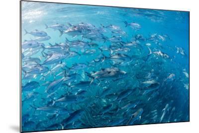 A Large School of Bigeye Trevally (Caranx Sexfasciatus) in Deep Water Near Cabo Pulmo-Michael Nolan-Mounted Photographic Print