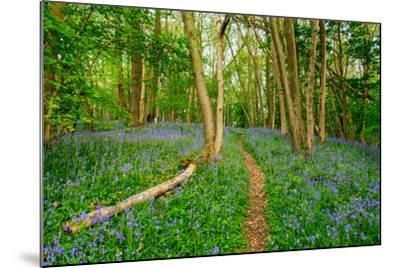 Bluebells, High Littleton Woods, Somerset, England, United Kingdom, Europe-Bill Ward-Mounted Photographic Print