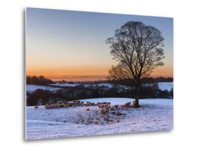 A Herd of Sheep Grazing in the Winter Snow Near Delamere Forest, Cheshire, England-Garry Ridsdale-Metal Print