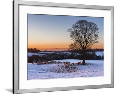 A Herd of Sheep Grazing in the Winter Snow Near Delamere Forest, Cheshire, England-Garry Ridsdale-Framed Photographic Print