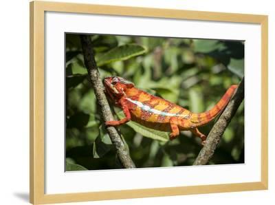 Red Panther Chameleon (Furcifer Pardalis), Endemic to Madagascar, Africa-Matthew Williams-Ellis-Framed Photographic Print