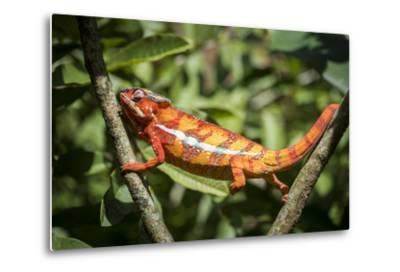 Red Panther Chameleon (Furcifer Pardalis), Endemic to Madagascar, Africa-Matthew Williams-Ellis-Metal Print