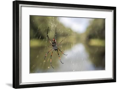 Golden Silk Orb Weaver Spider (Nephila) on its Web, Perinet Reserve-Matthew Williams-Ellis-Framed Photographic Print