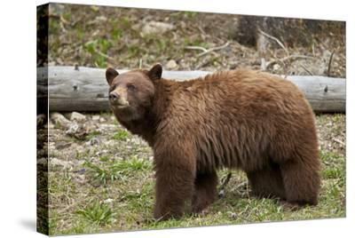 Cinnamon Black Bear (Ursus Americanus), Yellowstone National Park, Wyoming-James Hager-Stretched Canvas Print